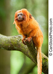 golden lion tamarin - cute golden lion tamarin...