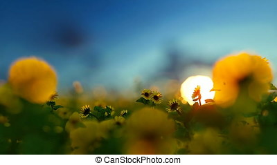 Sunnflower plantation against beautiful sunset, travel...