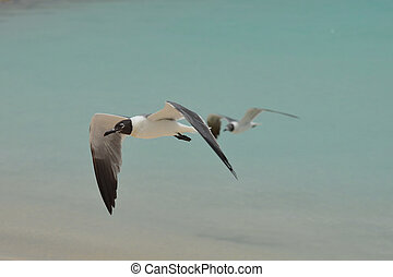 Amazing Laughing Gull in Flight Over the Ocean - Laughing...