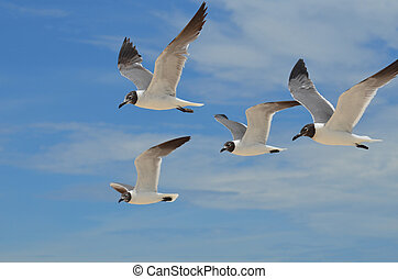 Four Laughing Gulls Flying Together in the Sky - Group of...