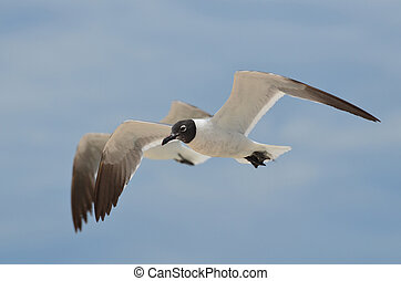 Pair of Flying Laughing Gulls Flying in Tandem - Two flying...