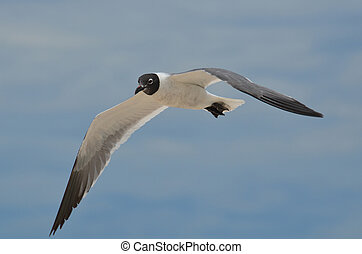 Gorgeous Look at a Laughing Gull in Flight - Flying laughing...