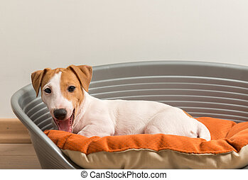 Jack Russell Terrier Lying on Dog Bed - Little Cute Jack...