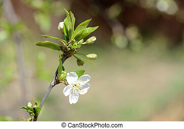 Flower of a blossoming cherry tree close-up