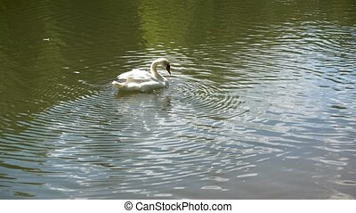 White swan swimming on a lake