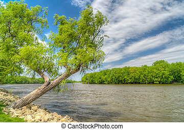 Willow Overlooking Bank of Mississippi River. - Willow tree...
