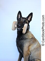 Belgian shepherd dog with a wooden dumbbell
