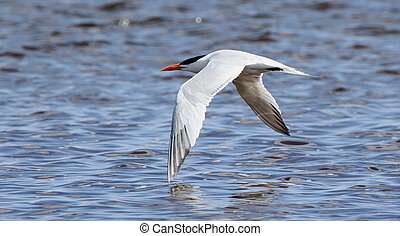 Caspian tern flying with wingtips against water - One...