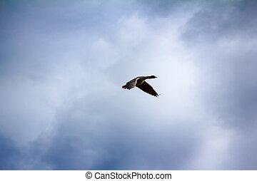 Forest-breeding bean goose (Anser fabalis fabalis) Photos...