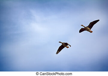 Forest-breeding bean goose - couple of breeding geese -...