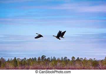 Forest-breeding bean geese on background of summer blue sk -...