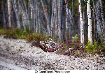 capercailye (Tetrao urogallus) out on gravel road - Taiga...