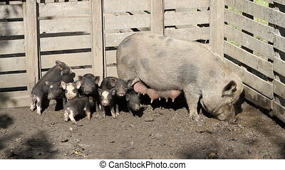 Pig And Piglets - Mother pig and her piglets roam a farm...