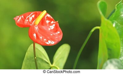 Red anthurium flower in the garden
