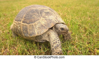 Slow motion, Tortoise Walking on The Grass.