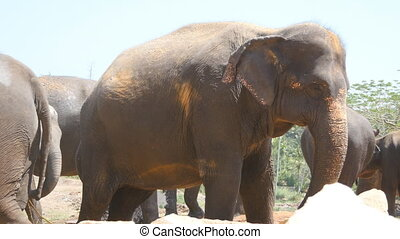 African elephants graze in vicinity of reserve. Close up.