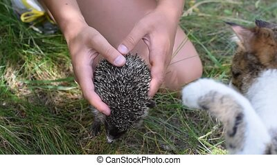 Cat explores a hedgehog held in human hands outdoors on...