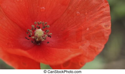 Red flowers of the wild poppy - Macro shot of red flowers of...