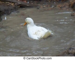 solo white peking duck - a beautiful white pekin duck...