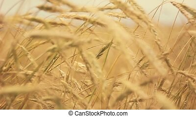 Yellow Wheat Ears Field Blowing In Wind. Rich Harvest Wheat Field, Fresh Crop Of Wheat Ears