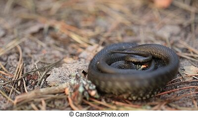 Grass Snake Natrix Natrix Adder In Forest Early Spring...