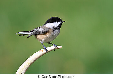 Bird On An Antler - Black-capped Chickadee (poecile...