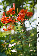 spotted orange lilies growing in the garden - Beautiful...