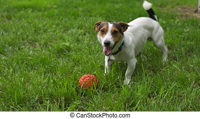 Cute dog calls to play - Cute jack russell calls to play