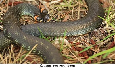 Grass Snake Natrix Natrix Adder Head Raising Defensiveness...
