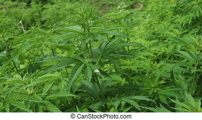 Field of Cannabis ruderalis - Close up of Cannabis ruderalis...