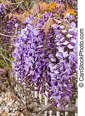 purple wisteria blossoms - close up of purple wisteria...