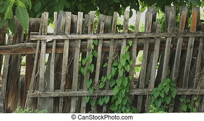 Old wooden fence covered with ivy - Front view from old...