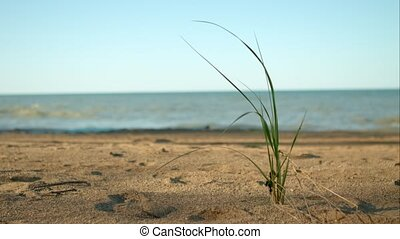 Blade of grass on the beach