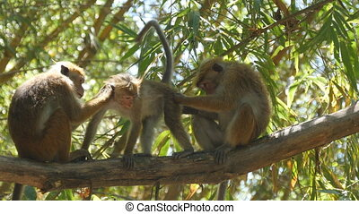 Family of monkeys sitting on branch of palm in national park...