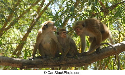 Family of monkeys sitting on branch of palm in national park in Sri Lanka. Close up