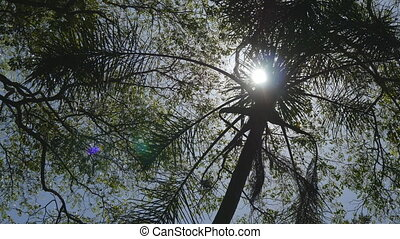 Sun shining through palm in Sri Lanka. The wind shakes the trees. Sun Rays make their way through leaves. Bottom view. Close up