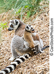 Ring tailed lemur - A baby Ring tailed lemur on the back of...