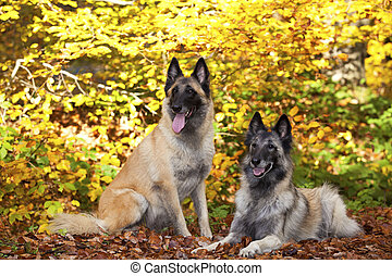 two Belgian shepherds - A portrait of two belgian shepherds...