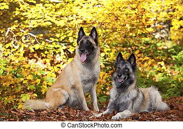 two Belgian shepherds - A portrait of two belgian shepherds...