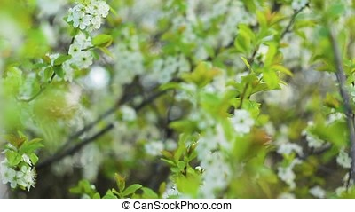 may the white flowers on the tree 1