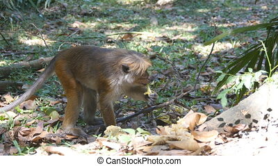 Monkey eating fresh fruit in the tropical park. Vertet in...