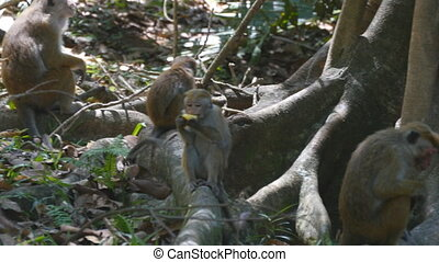 Monkey eating fresh fruit in the tropical park. Vertet in...