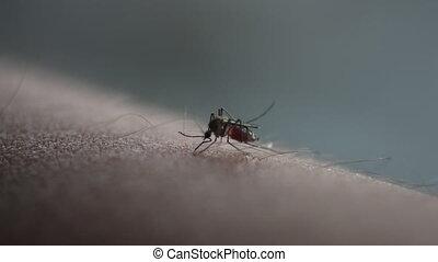 Mosquito bite drinking blood. - Macro shot of mosquito bite...