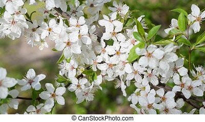 Blooming cherry tree twig. Beautiful white cherry tree...