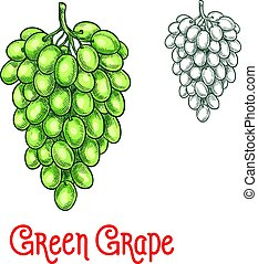 Green grape vector sketch isolated fruit berry - Green grape...