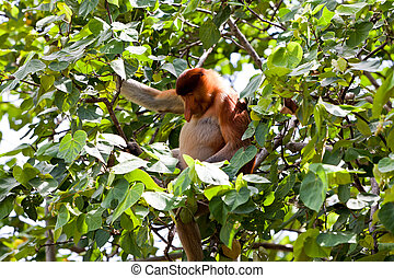 Long nosed monkey sitting in a tree - Long nosed probiscus...