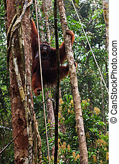 Male orang utan hanging in a tree - Big male orang utan...