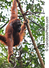 Female orang utan hanging in a tree - Young female orang...