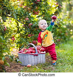 Baby boy picking apples in fruit garden - Child picking...