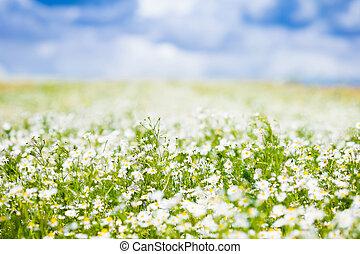 Field of daisy flowers in summer - Beautiful field of daisy...